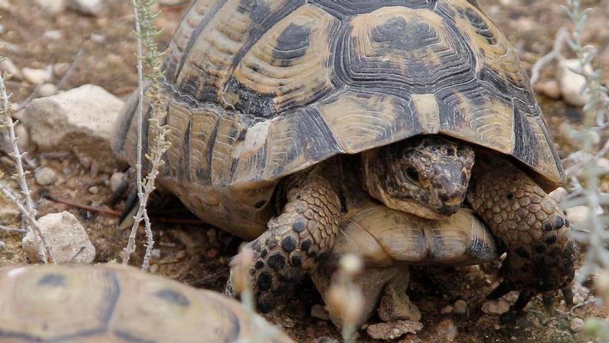 El secreto de la supervivencia de las tortugas: almacenar esperma varios años