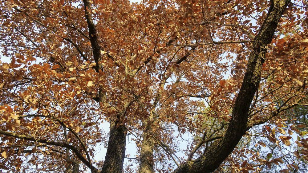 Gran roure amb les fulles de color marró.