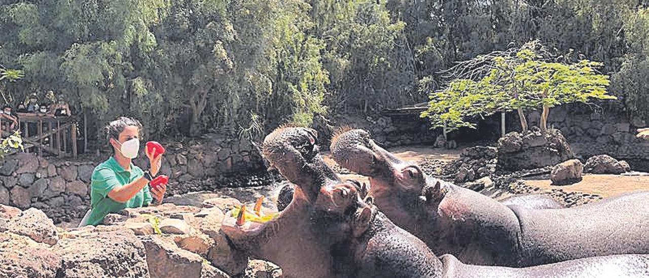 Una trabajadora ofreciendo alimentos a los hipopótamos.