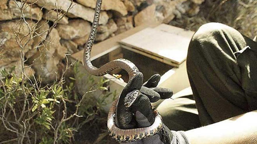 Medio Ambiente activa una campaña de control de serpientes invasoras