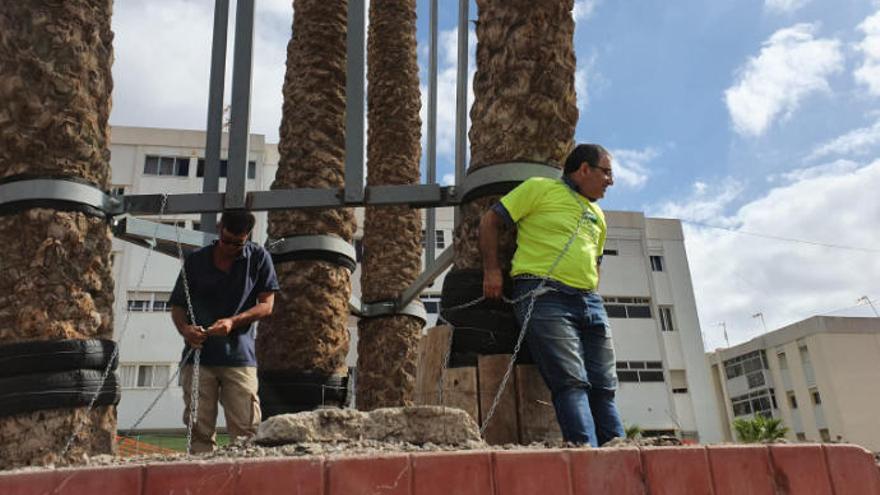 Encadenados contra el transplante de palmeras canarias bicentenarias