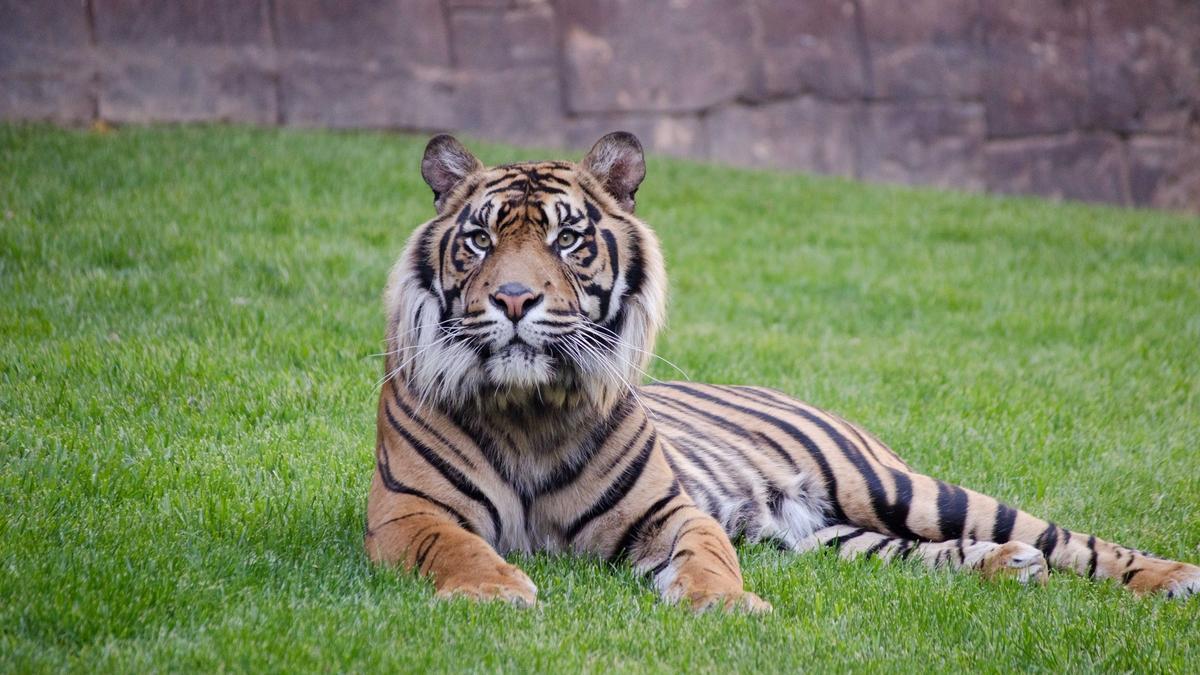 Harau, ejemplar de tigre de Sumatra de Bioparc Fuengirola.