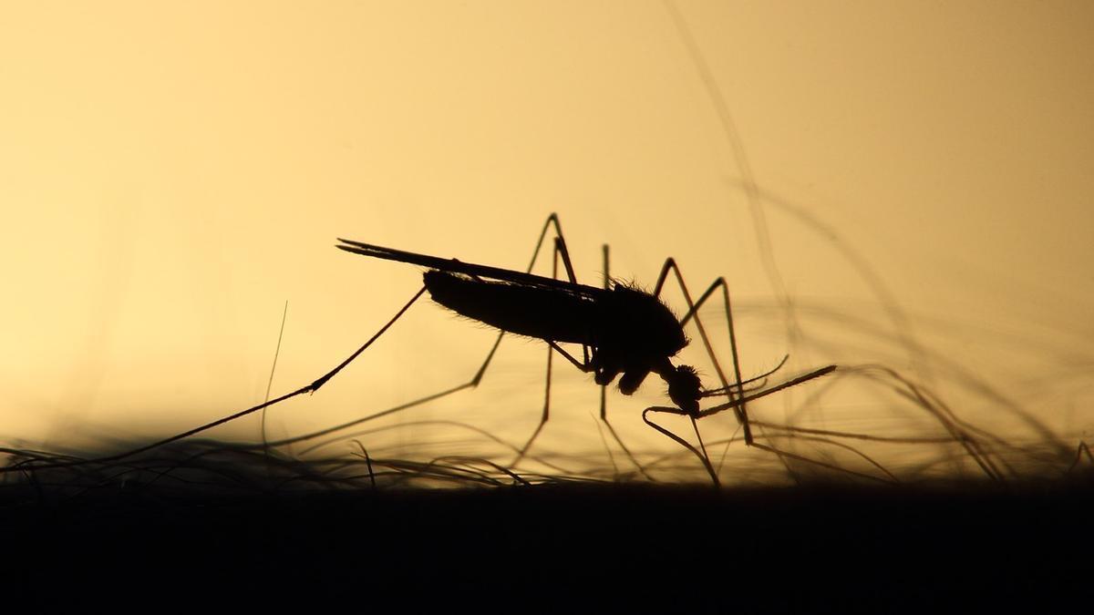 Mosquitos.