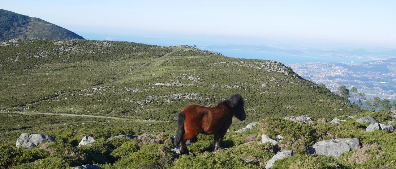 Un garrano en la Serra da Groba, con la ría de Vigo de fondo. // IEM