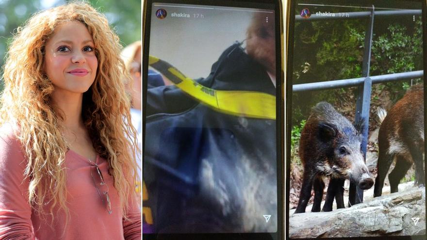 Shakira, atacada per un grup de porcs senglars a Collserola