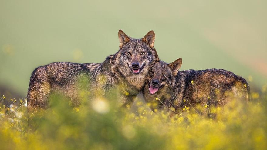 Conviviendo con lobos