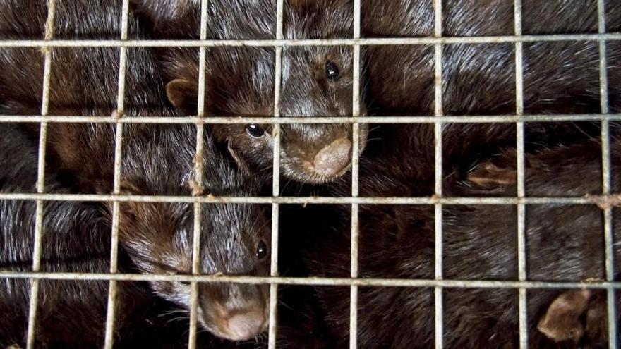 Dinamarca da por extinta la mutación de Covid en visones