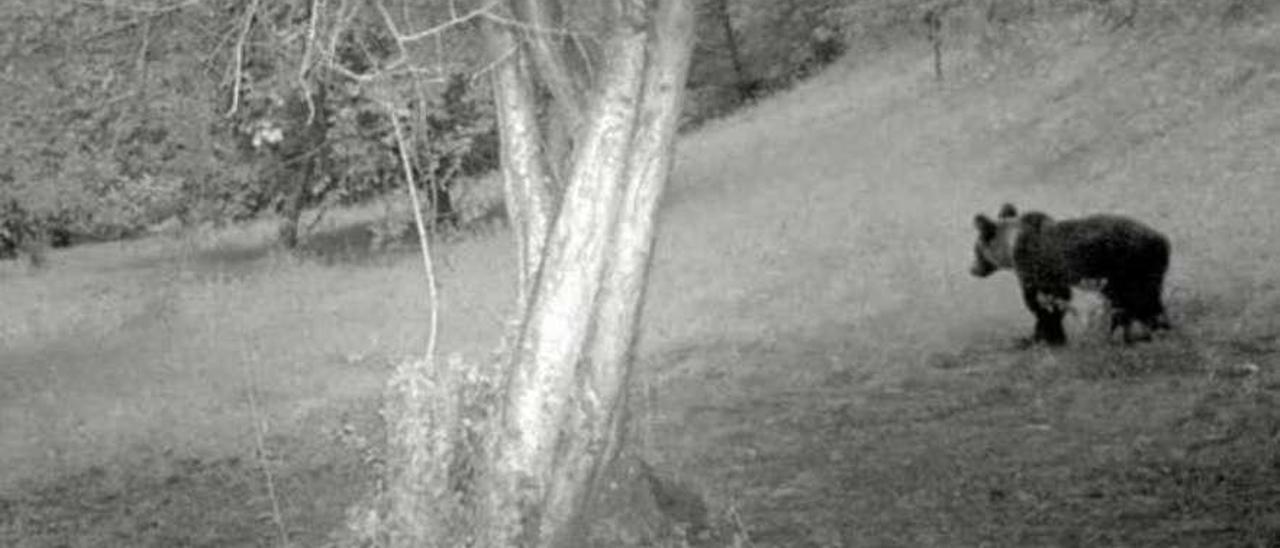 Un oso, captado con una cámara de infrarrojos en Espinedo, en Lena.
