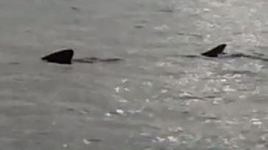 Gefährdet statt gefährlich: Angler sichten weiteren Hai