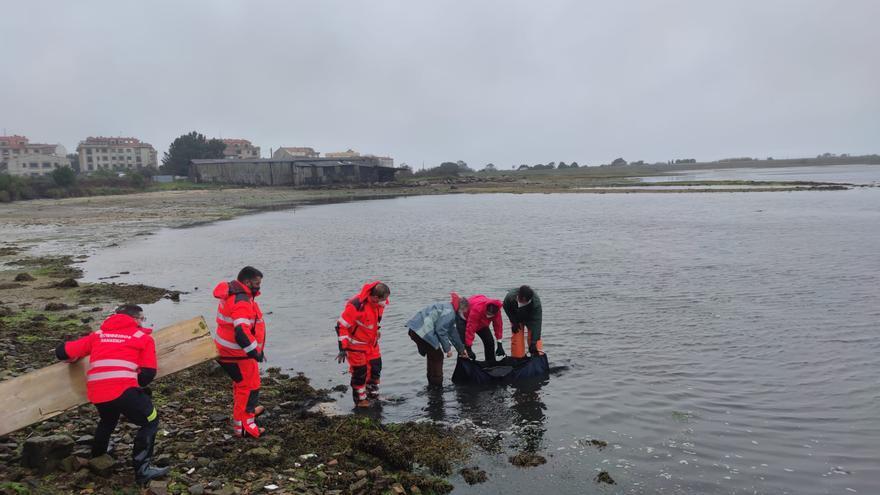 Rescatan un delfín varado en A Revolta, Sanxenxo