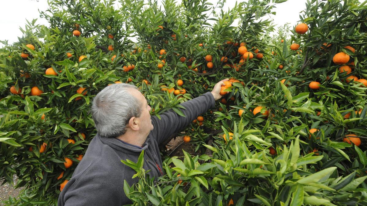 El citrícola es uno de los sectores que se beneficiará de las ayudas.