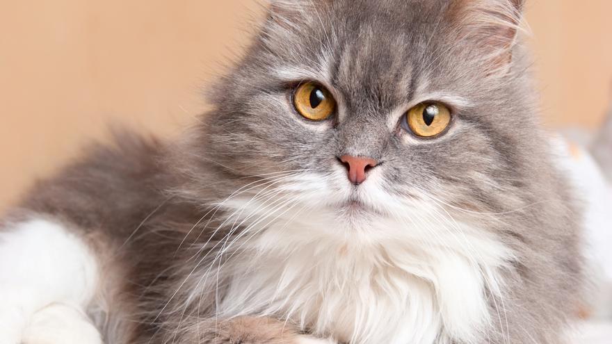 Estas son las razas de gatos más cariñosos