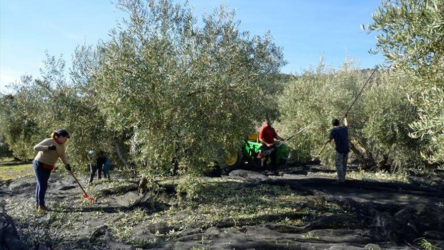 Los agricultores de Almendralejo hablan de «agua bendita» para las aceitunas