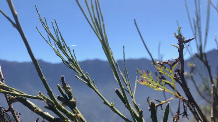 Nuevas especies vegetales en la Caldera de Taburiente