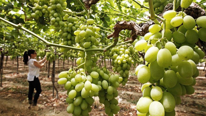 La uva de mesa de Monforte del Cid supera con creces los estándares de calidad