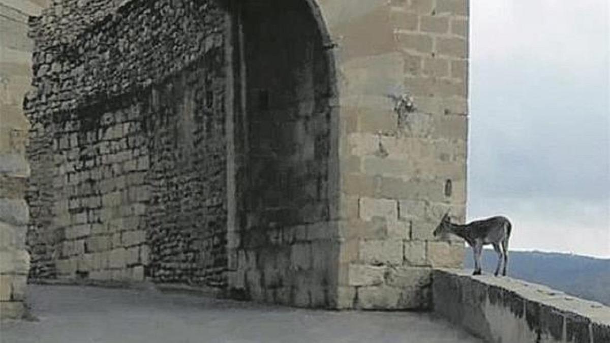 Las cabras montesas llegan a las puertas de Morella