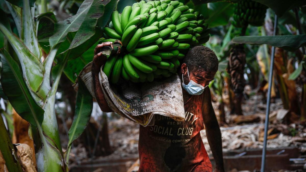 Un agricultor lleno de ceniza recoge una piña de plátanos, antes de que la lava del volcán de Cumbre Vieja llegue a las plantaciones, a 23 de septiembre de 2021, en Tazacorte, La Palma, Santa Cruz de Tenerife, Canarias (España). La Palma es la isla del ar