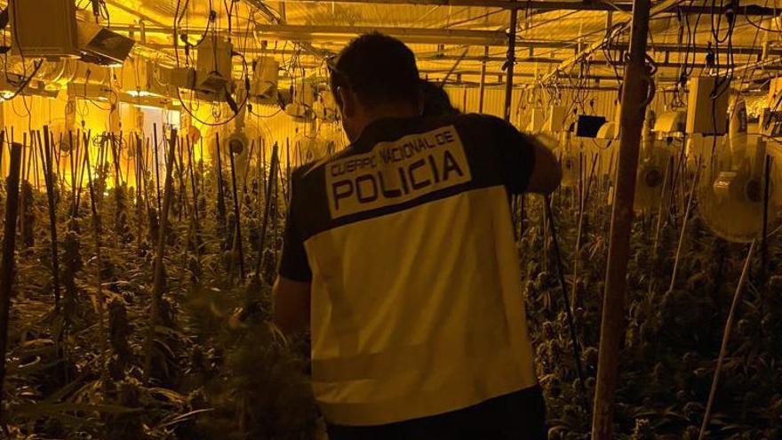 Desmantelan 770 plantas de marihuana cultivadas en una nave industrial de Carrús