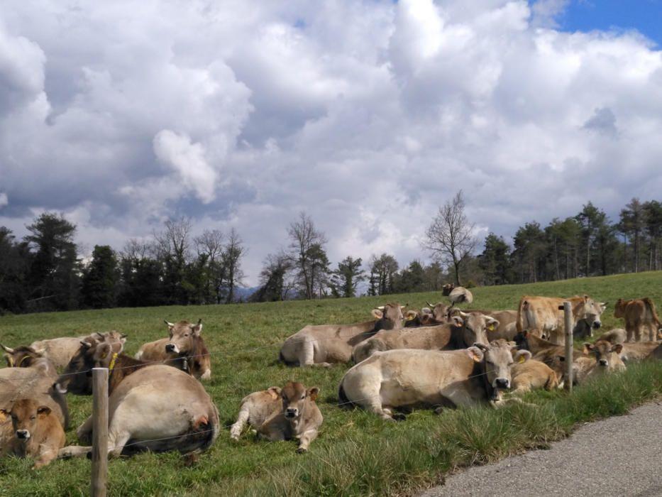 Relaxats. Des de dalt dels Munts, a 1.057 m d'altitud, aquest bestiar de pastura descansa tranquilament. Un cop s'han omplert la panxa, xics i grans fan una becaina abstrets de les nuvolades que s'acosten.