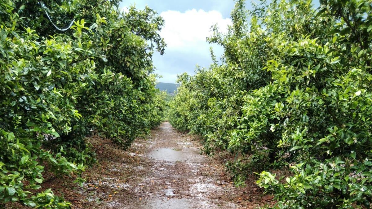 Campos afectados por el granizo en Montesa
