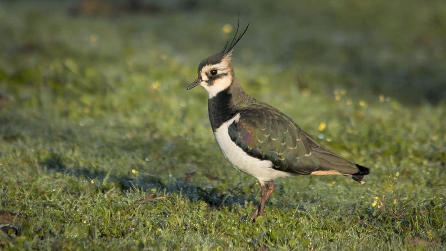 Demanen al Consell la prohibició de caçar cinc aus ara cinegètiques