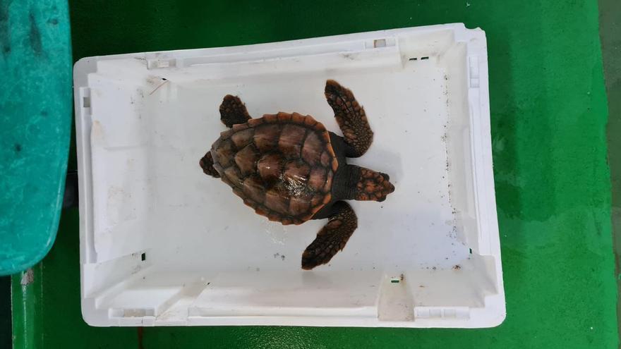 La tortuga común que apareció en Bueu continúa en la UCI