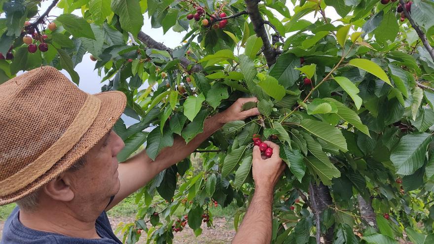 La cereza remonta el vuelo y la recolección sube un 3.000% en un año