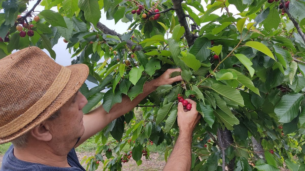 Un agricultor coge cerezas de un árbol en su finca de Villamalur, uno de los puntos con más tradición de este cultivo.