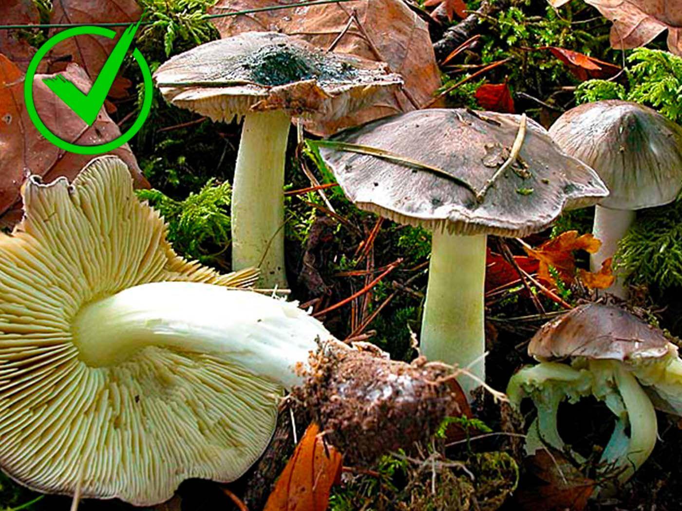11-Tricholoma portentosum.jpg