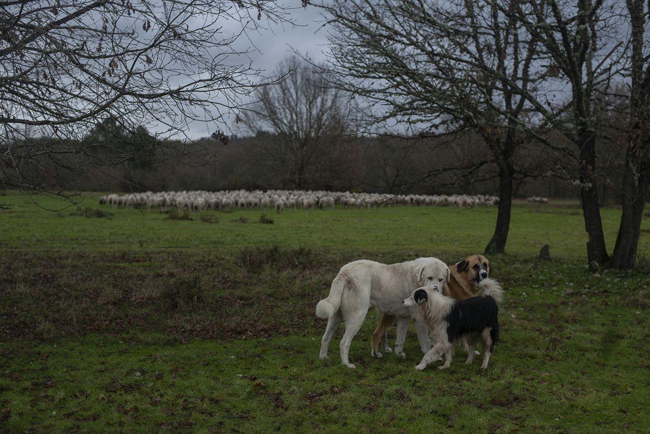 """La familia del millar de ovejas a solo diez kilómetros de la ciudad: """"¿O futuro? Difícil"""""""