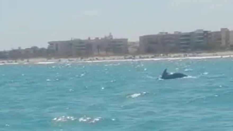 Delfines en la playa de Canet d'en Berenguer