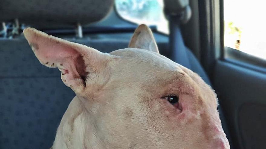 Troben una altra gossa amb senyals de maltractament oculta al pis del jove detingut a Bellreguard