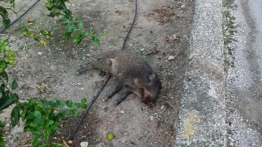 Un jabalí provoca un accidente en Almassora