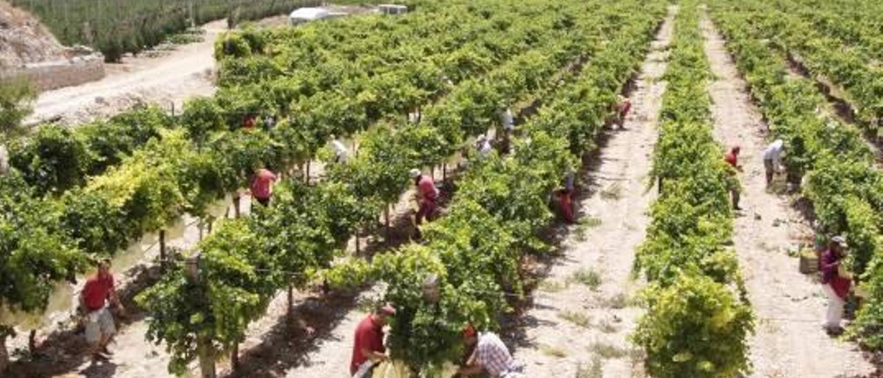 Una imagen de archivo de cultivo de uva en el Medio Vinalopó.