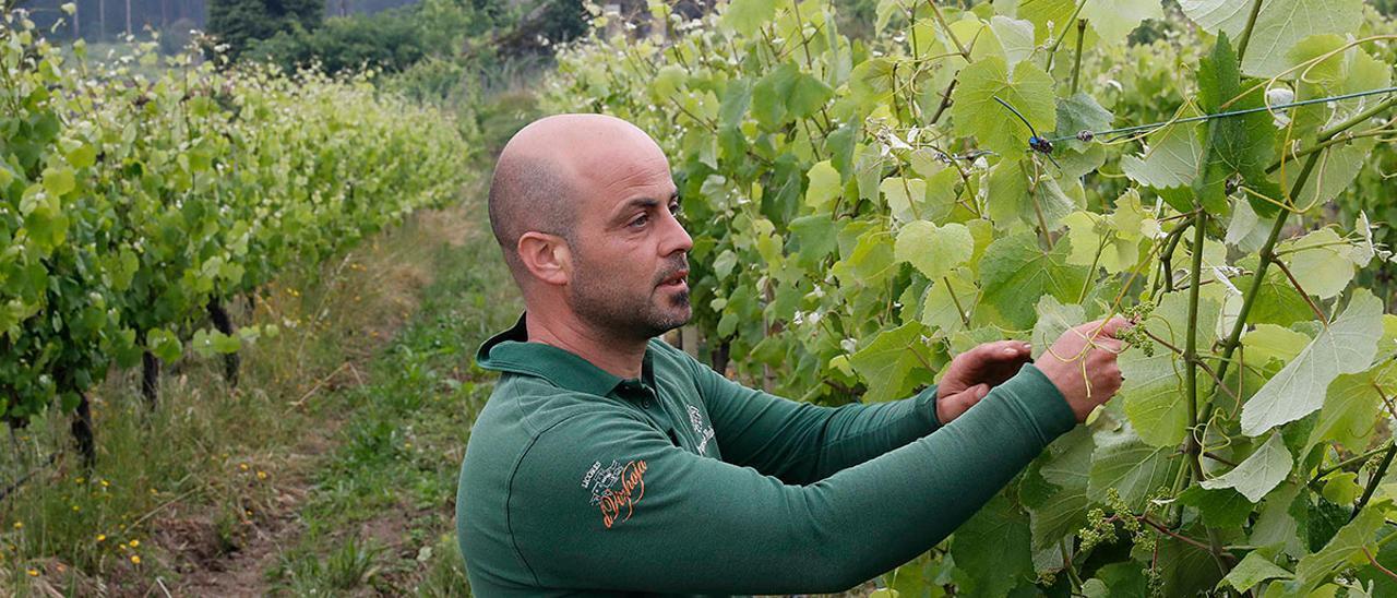 Un trabajador reparando las ramas de las viñas de la bodega Marqués de Vizhoja en Arbo.  // Pablo Hernández