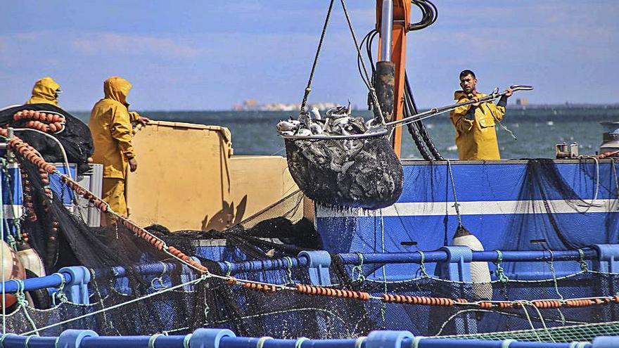 Pilar de la Horadada acogerá su segunda granja marina de engorde de doradas