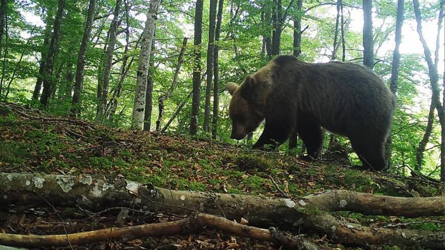 """Los ganaderos replican al Principado que el oso """"ya está asentado"""" en el parque de Redes"""