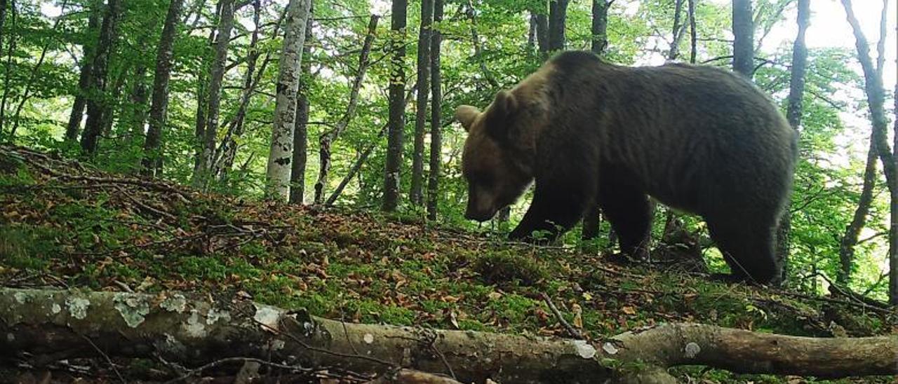 Un oso en Teverga,  en una imagen del FAPAS. En el círculo, una huella de plantígrado en Redes.