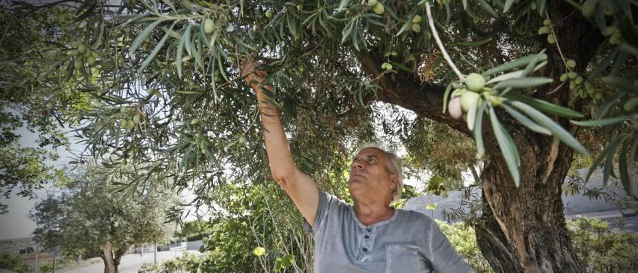 Algarrobas y olivas públicas