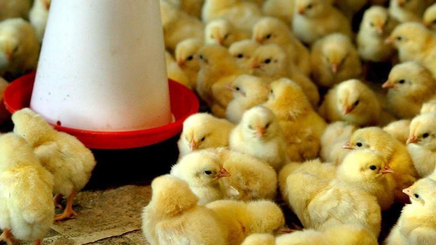 Japón sacrifica 640.000 pollos por un brote de gripe aviar