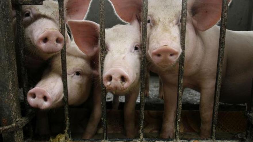Castilla y León suma 26 nominaciones a los Oscar de la producción porcina de ibérico