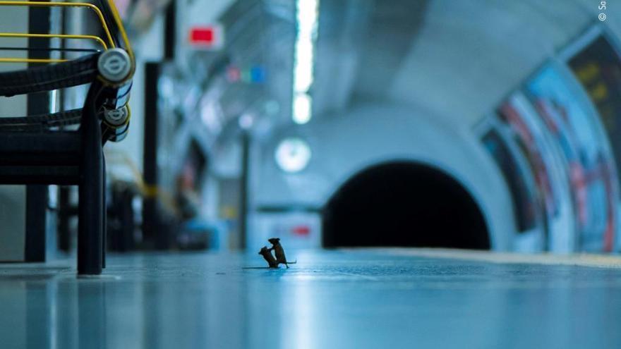 Una baralla de ratolins al metro de Londres, la millor foto de natura de l'any