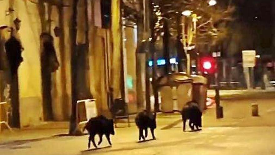 Tres senglars es passegen per plaça Independència a Girona