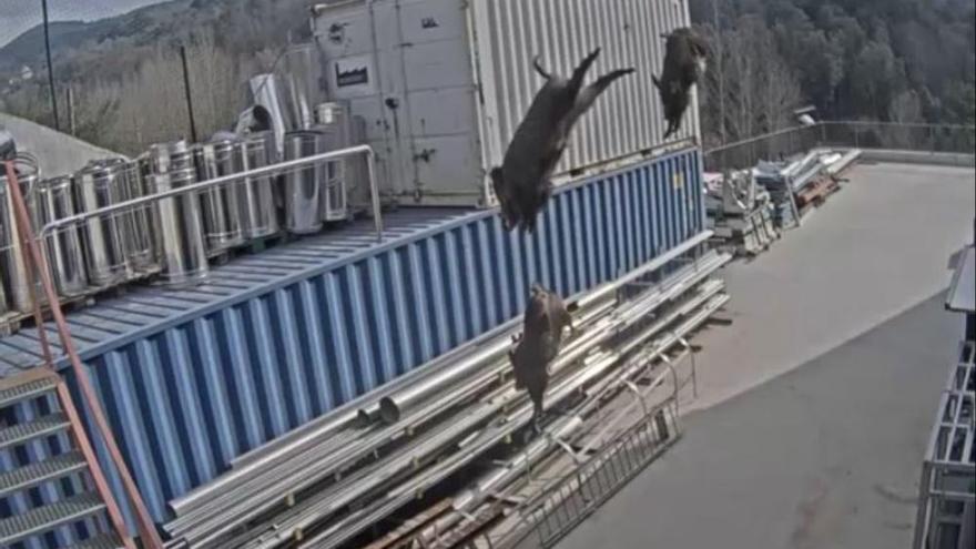 VÍDEO | Senglars es llancen al buit des de la teulada d'una fàbrica a Viladrau