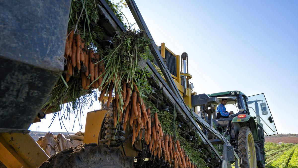 Recolección de zanahoria en los campos de la cooperativa Agrícola Villena.