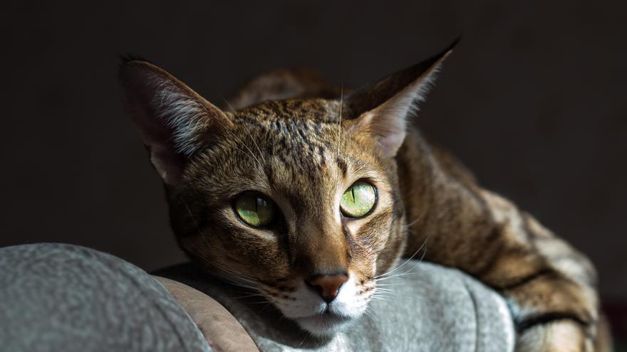 Tan grandes como perros: el ranking de los gatos gigantes