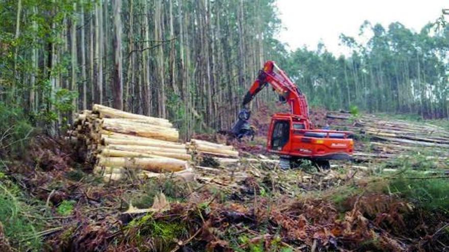 Galicia concentra dos tercios de las plantaciones de eucalipto en España
