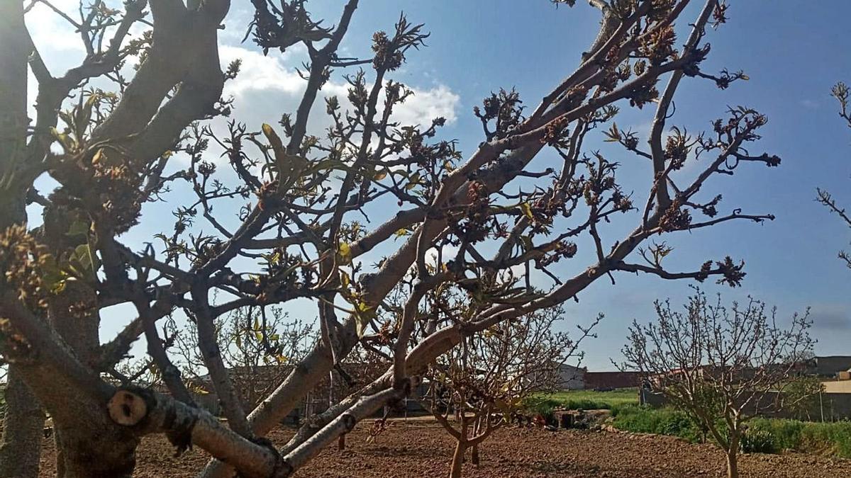 Plantones de pistachos dañados por las heladas tardías registradas a finales de abril.   Cedida
