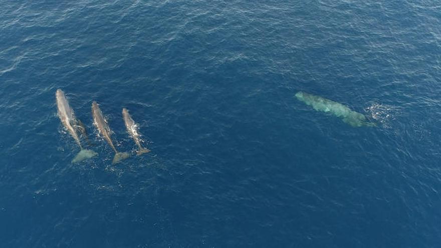 Tierschützer sichten in kurzer Zeit 44 Wale vor balearischen Küsten