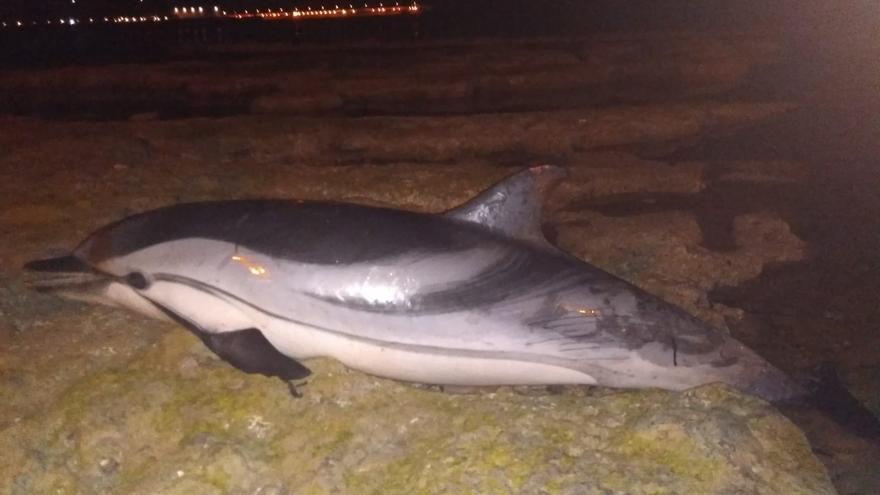 Un vecino halla el cadáver de un delfín listado en Torrevieja